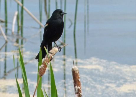 black_bird_wetland